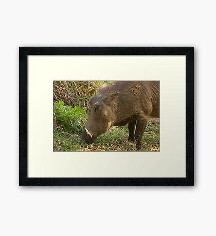Warthog browsing for food Framed Print