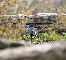 Blue Headed Black Bird by Adam Kuehl