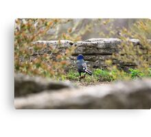 Blue Headed Black Bird Canvas Print