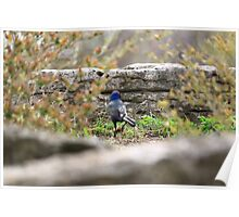Blue Headed Black Bird Poster