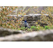Blue Headed Black Bird Photographic Print
