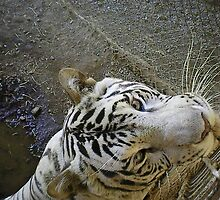 white male tiger very curious  by AnnaRingo