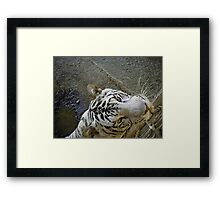 white male tiger very curious  Framed Print