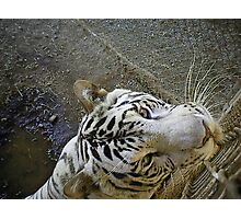white male tiger very curious  Photographic Print