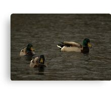 Mallards eyeing me down Canvas Print