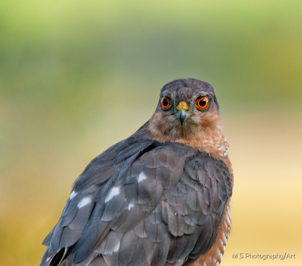 Sparrow Hawk Portrait by M.S. Photography/Art