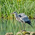 Grey Heron by M.S. Photography & Art