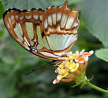 The Malachite Butterfly  by ienemien