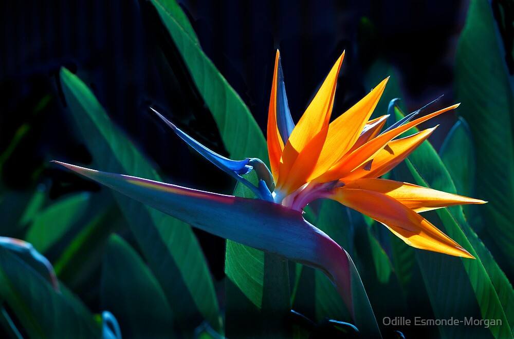 Bird of Paradise flower (Strelitzia nicolai) by Odille Esmonde-Morgan