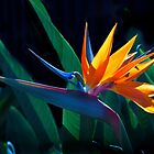 Bird of Paradise flower (Strelitzia nicolai) by Odille Esmonde-Morgan