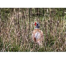 Pheasant in Long Grass Photographic Print