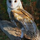 Barn Owl by Chet  King