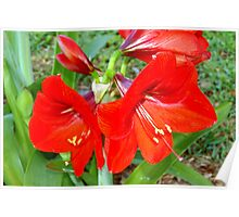 Red as in amaryllis Poster
