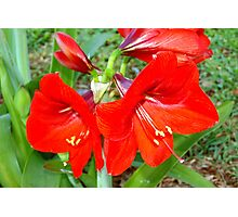 Red as in amaryllis Photographic Print