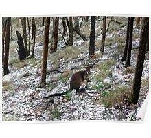 Wallaby in aftermath of a hail storm. Poster
