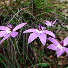 Wax-lip Orchid (Glossodia major) by Ern Mainka