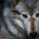 Canadian Timber Wolf by Ellesscee