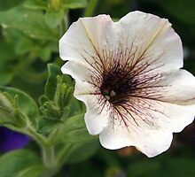white petunia by Linda  Makiej