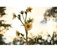 Sun Flower Photographic Print