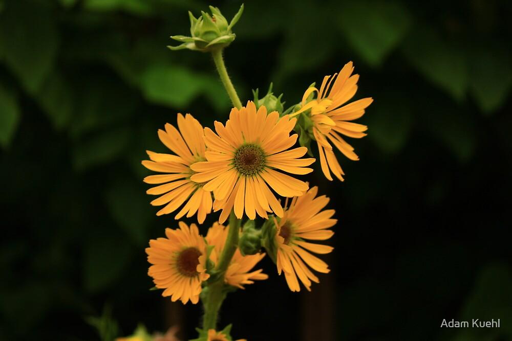 Yellow Daisy by Adam Kuehl