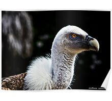 Griffon Vulture in Lisbon Zoo Poster