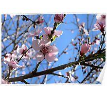 Nectarine Blossums Poster