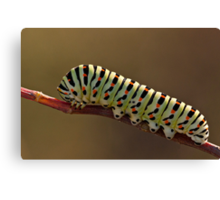 Papilio Machaon caterpillar Canvas Print