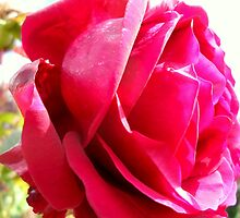Red Rose No.4 by Lewis Kesterton Photography