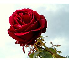 Red Rose No.6 Photographic Print