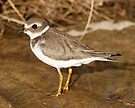 Plover on The Rocks by Todd Weeks