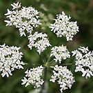 8 White Flowers  by mdench
