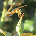 Dragonfly Perched on a Rosebud by Ingasi