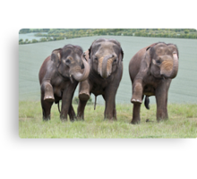 Three Elephants Canvas Print
