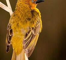 Cape Weaver by Anton Alberts
