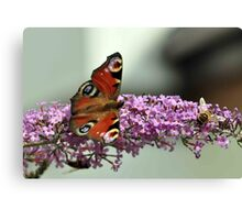 Peacock Butterfly and hoverfly Canvas Print