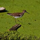 Solitary Sandpiper by John Absher