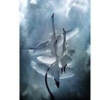 Swan Dance Photographic Print