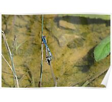 Damselflys Mating at The Watering Hole Poster