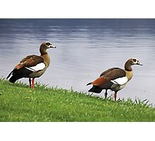 Egyptian Geese Photographic Print