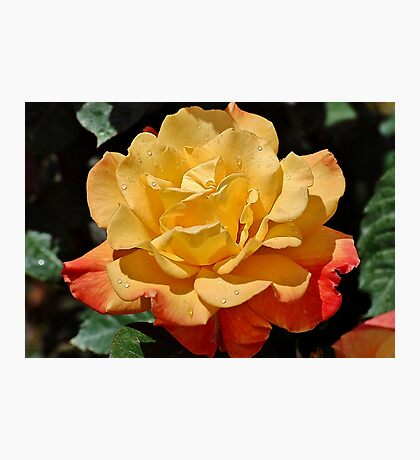 Morning Dew On A Yellow Rose Photographic Print