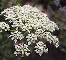 queen anne's lace by Linda  Makiej Photography