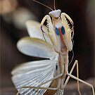 &quot;ELEGANCE&quot; IN CAPTURE - The praying mantis by Magaret Meintjes