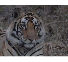 Tiger Series Photographic Print