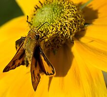 Skipper on rudbeckia by Celeste Mookherjee