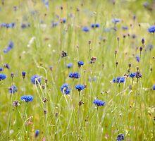Eden project cornflower patch by Christopher Cullen