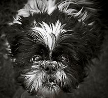 "The Shih-Tzu Says ""Woof!"" by Jay Taylor"