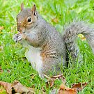 Grey Squirrel by Margaret S Sweeny