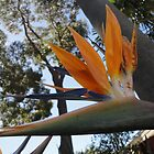 Bird of Paradise by Kymbo