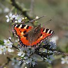 Pretty Butterfly by Pauws99