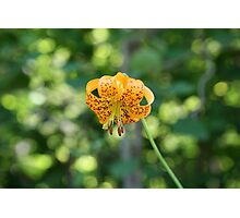 Spring Lily Photographic Print